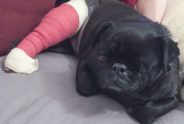 The Truth About Pug Puppies And Backyard Breeding P U G