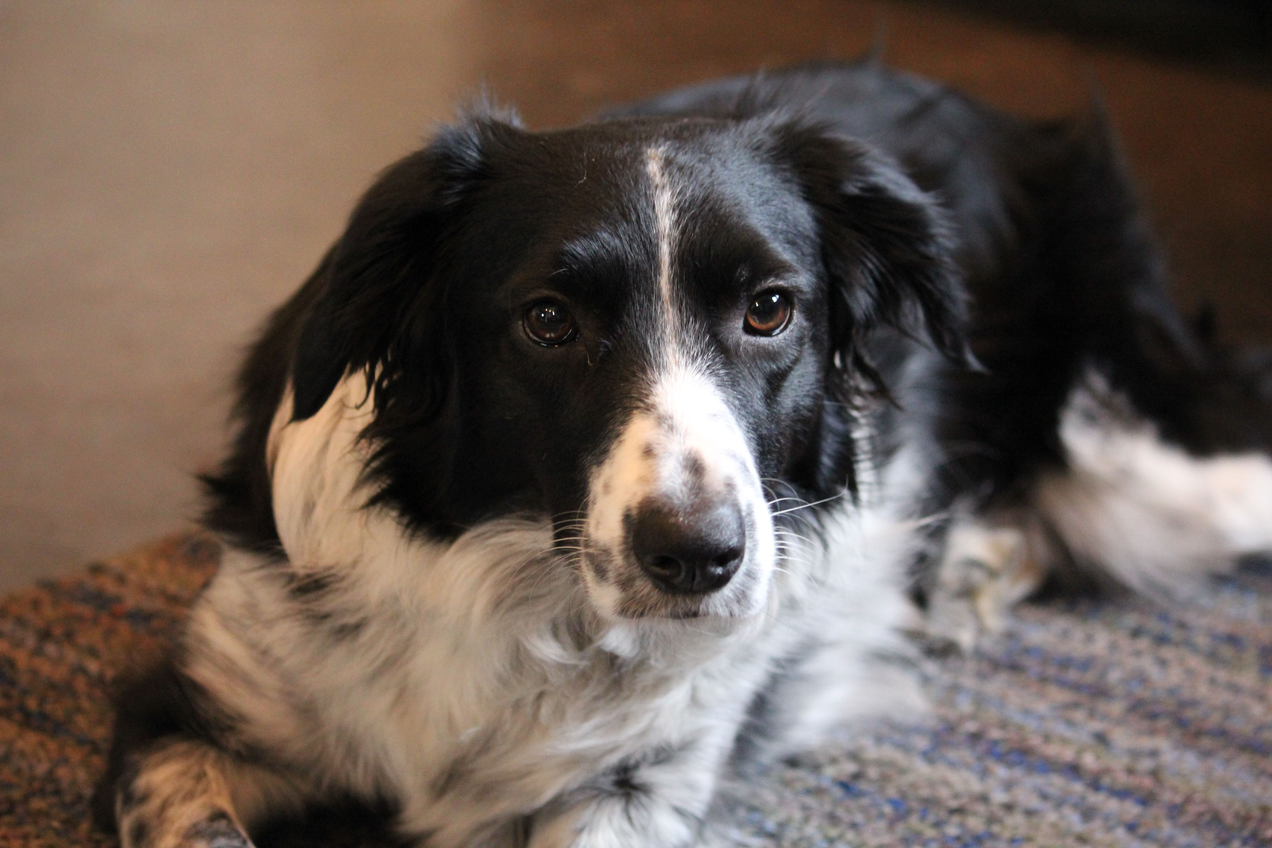 Sadie A Border Collie Springer Spaniel Mix A Year And A Half Old