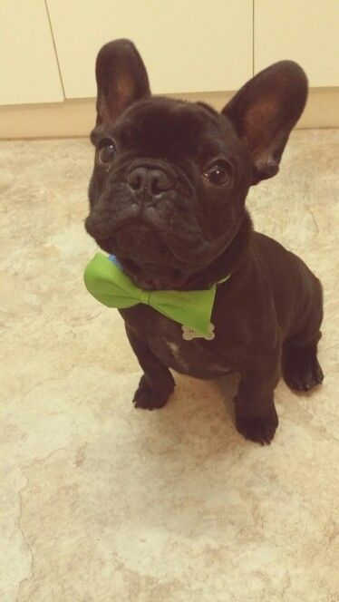 Handsome frenchie