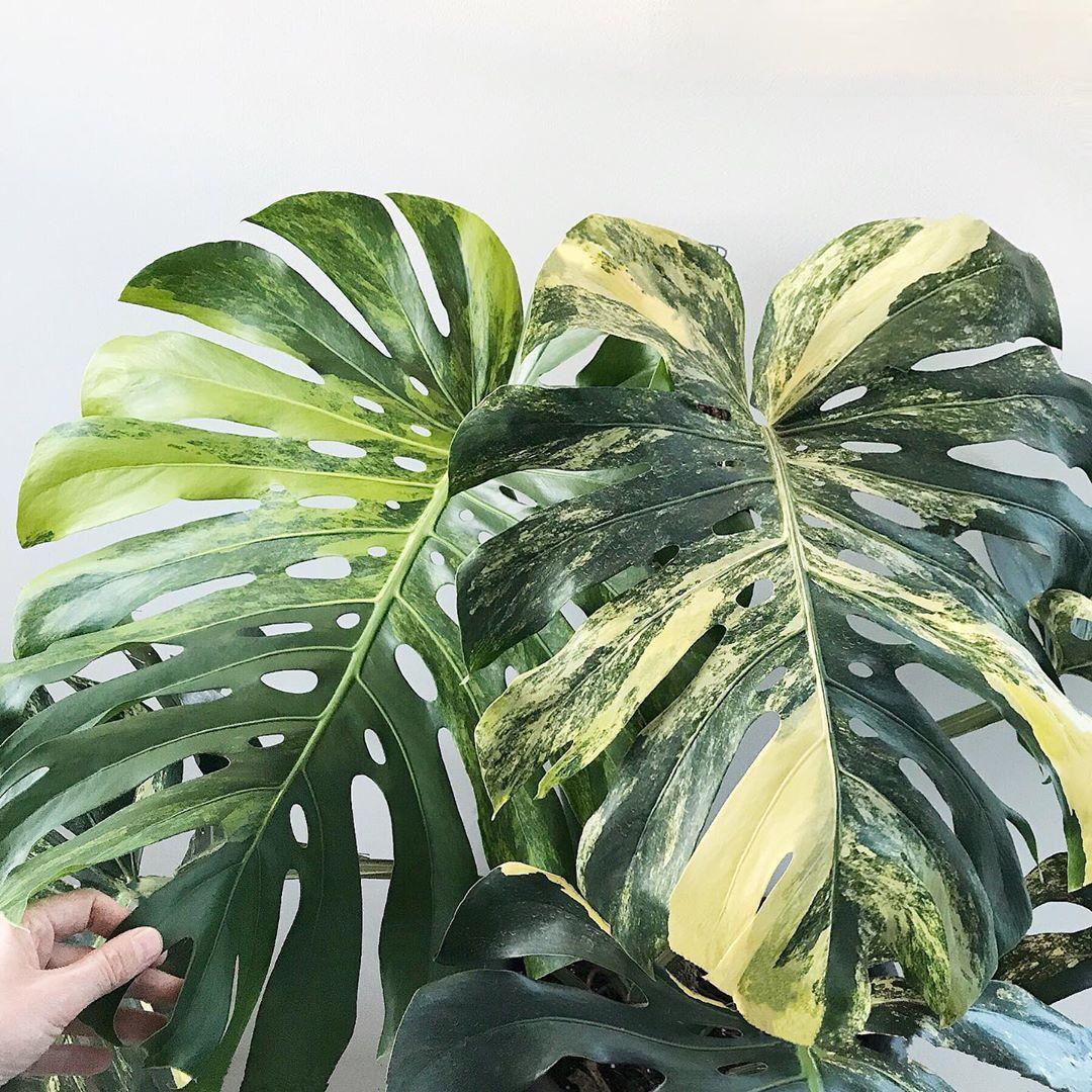 Plants Design Together On Instagram I Love The Way Monstera Deliciosa Aurea Variegata Leaves Start Off With Monstera Deliciosa Shade Plants Alocasia Plant