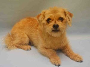 Manhattan Center ANNIE – A1089257  FEMALE, TAN, CAIRN TERRIER MIX, 5 yrs OWNER SUR – EVALUATE, NO HOLD Reason NO TIME Intake condition EXAM REQ Intake Date 09/10/2016, From NY 10451, DueOut Date 09/10/2016,