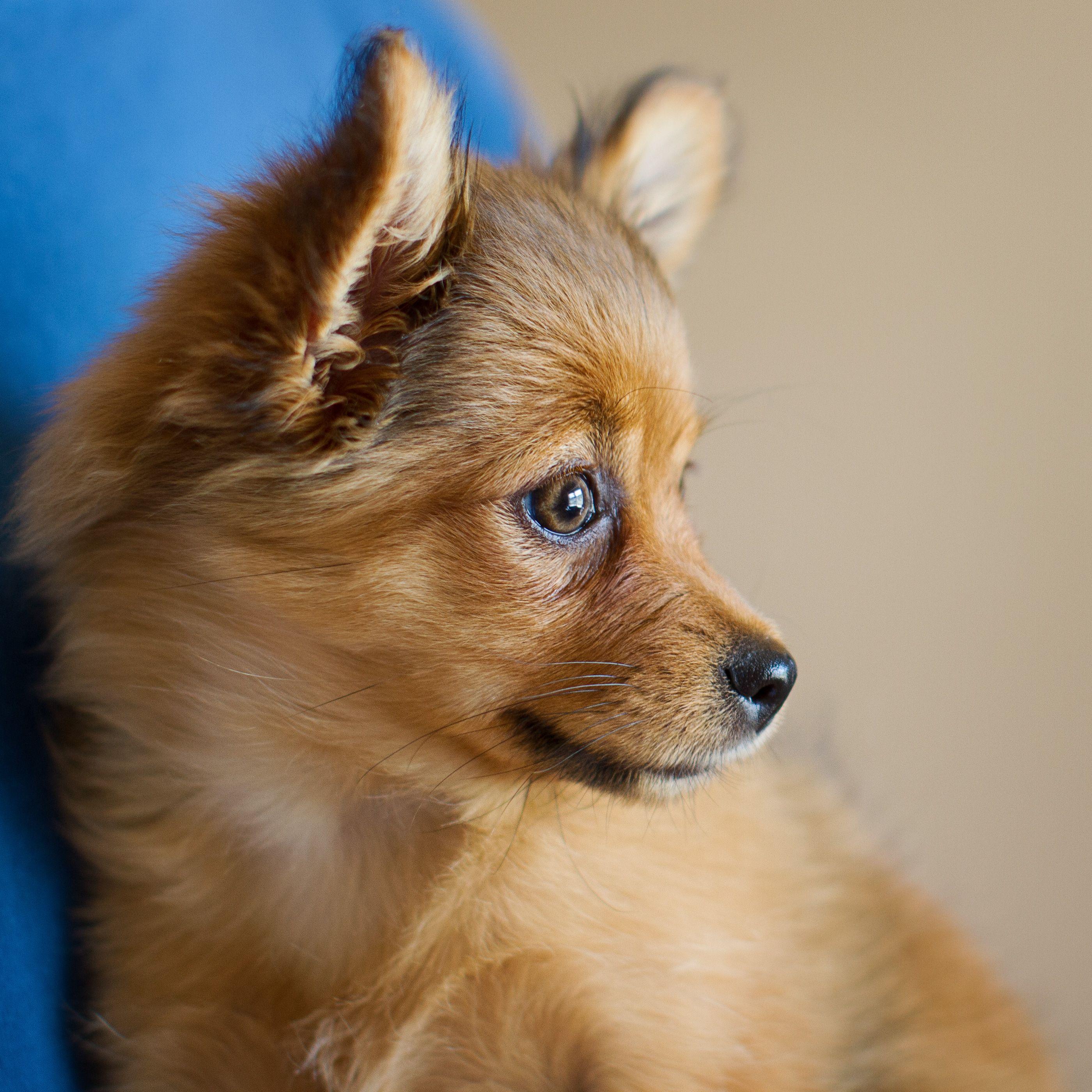 Pin By Tony Flores On Too Cute Yorkie Pomeranian Mix Pomeranian Breed Yorkie Mix