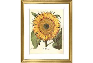 Basilius Besler, Sunflower