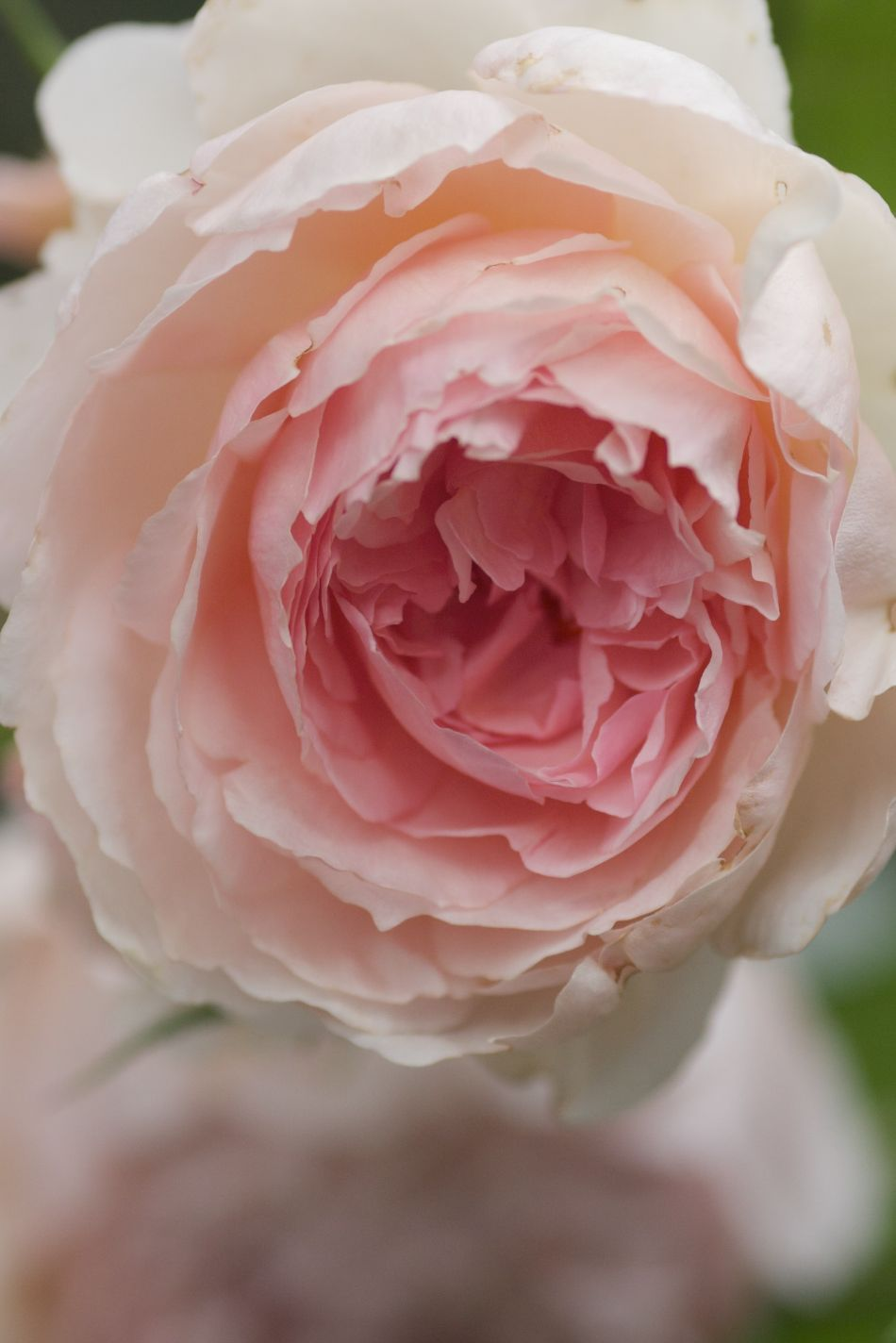 The Wedgewood Rose