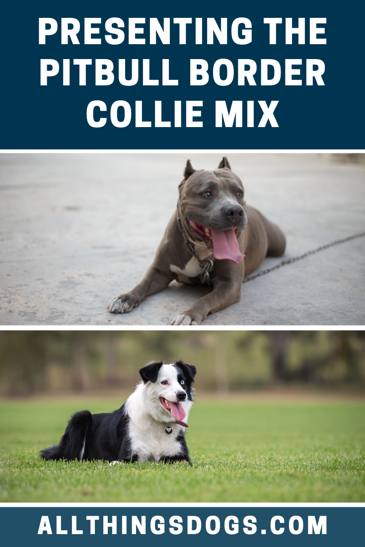 Pitbull Border Collie Mix Border Collie Mix Collie Mix Pitbull Dog Breed