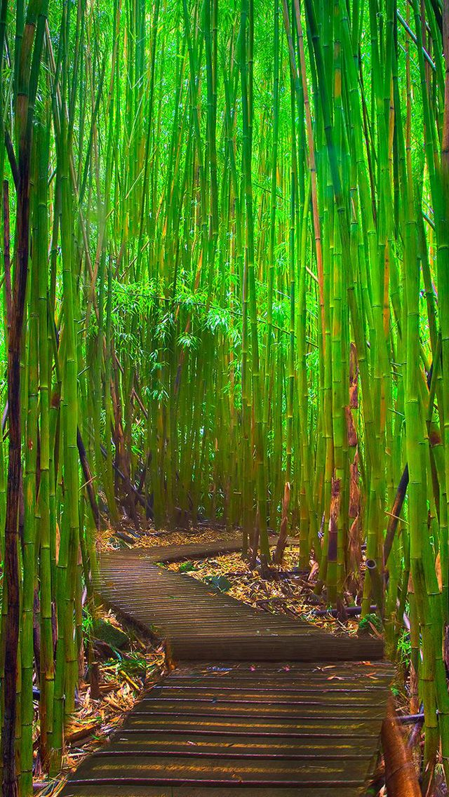 Bamboo Forest Iphone Wallpapers Bamboo Forest Maui Beautiful