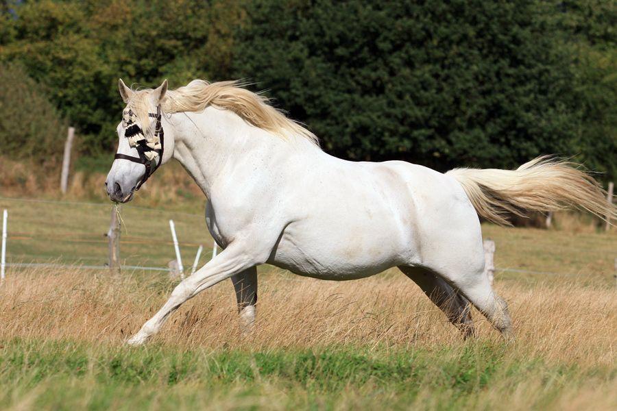 Pure Spanish Horse mare Abrileña III