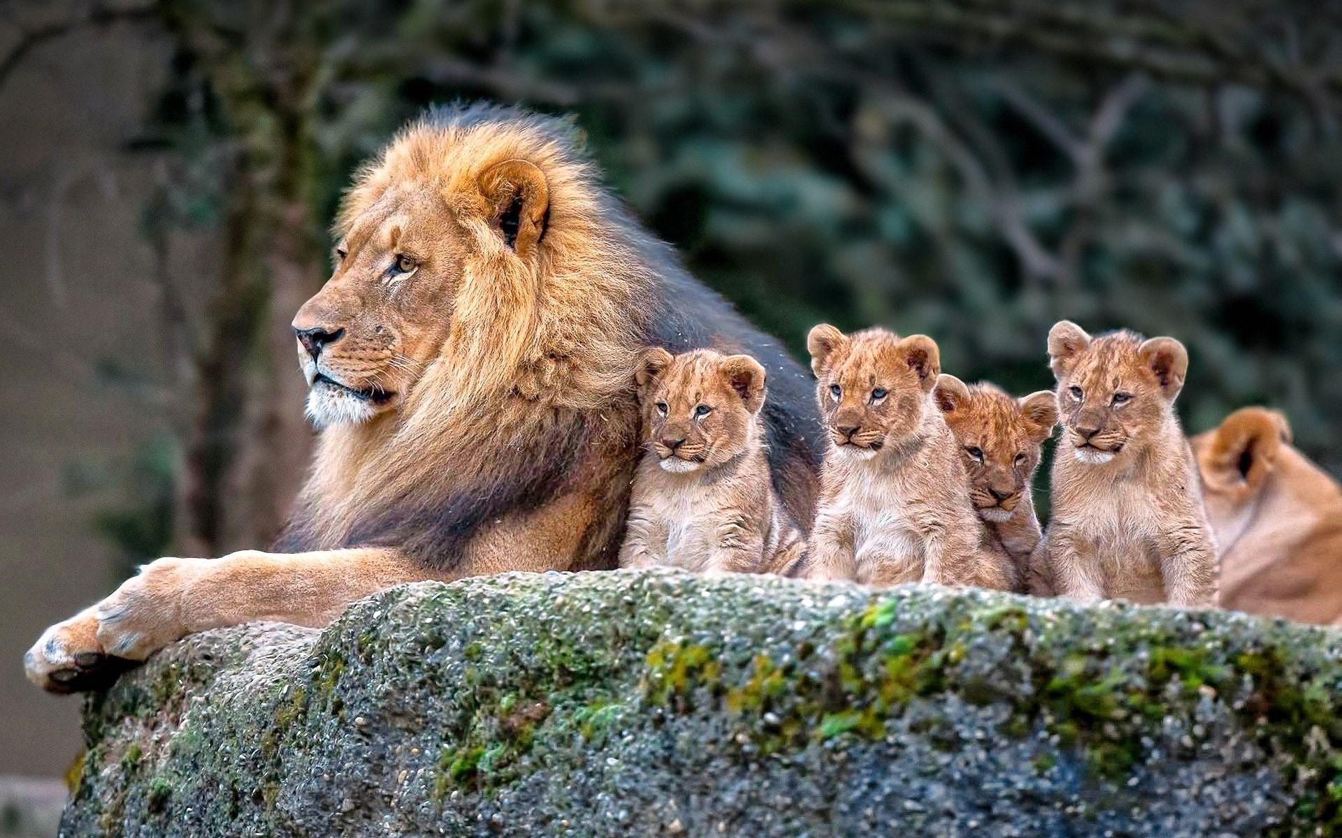 animal lion cub predator (animal) baby animal big cat wallpaper