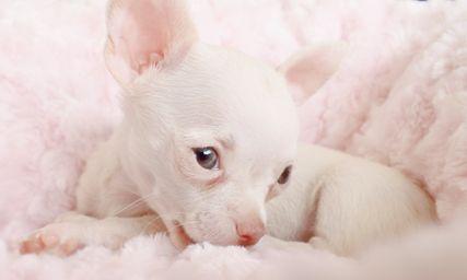 Gorgeous White Chihuahua Puppy Mascotas Animales Y Mascotas