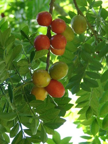 Seriguelha or Red Mombin or Hog Plum looks similar to kumquat. It has a large seed thus the flesh is quite small