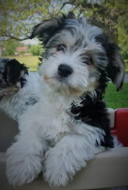 Havanese Puppy Havanese Puppies Havanese Cute Puppies