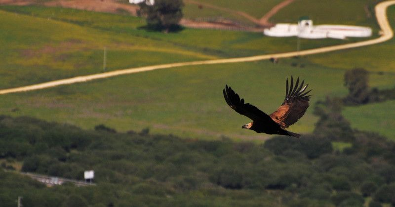 A Eagle over the landscape of Andalusia