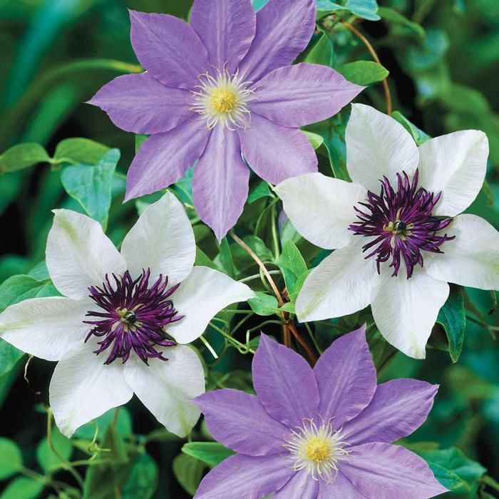 Clematis Florida Seiboldii/Ramona. The white petals and dark purple center of Florida Sieboldii pair beautifully with Ramona's perrywinkle-blue blossoms. These hardy perennials are proven performers.