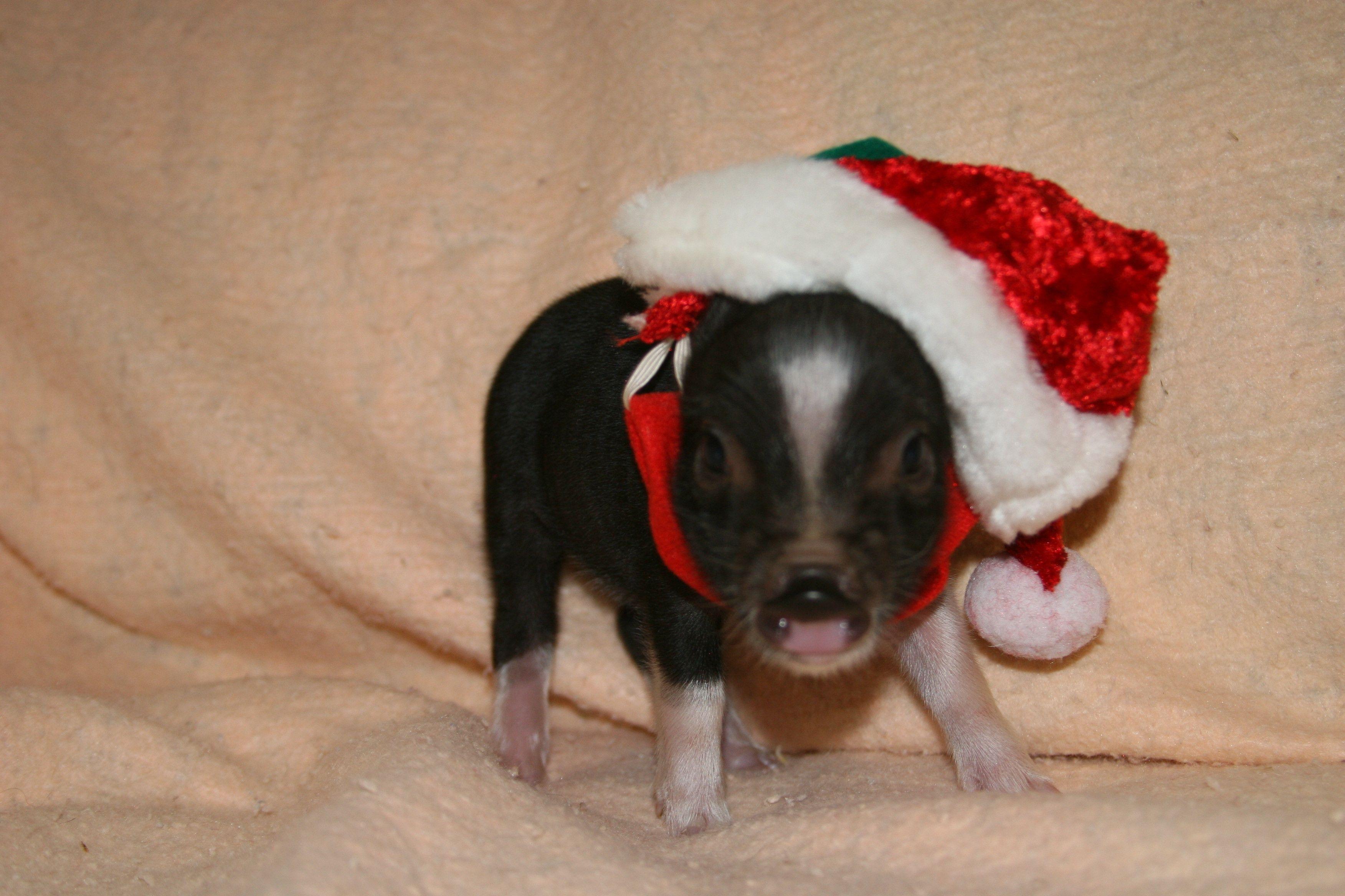 miniature pigs blk u0026 wht fancy pinto female little miniature