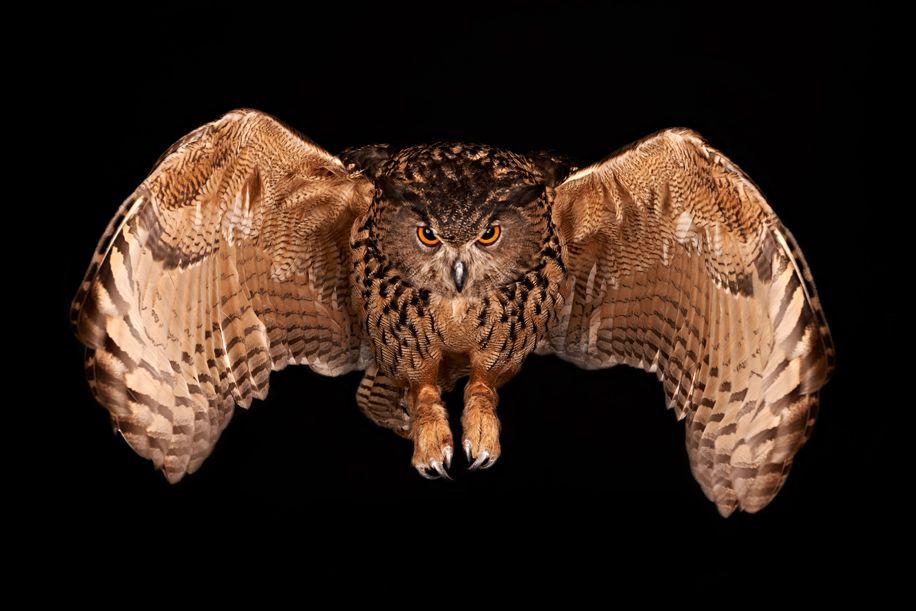 Guest post: birds of prey in a studio environment with the Nikon D800