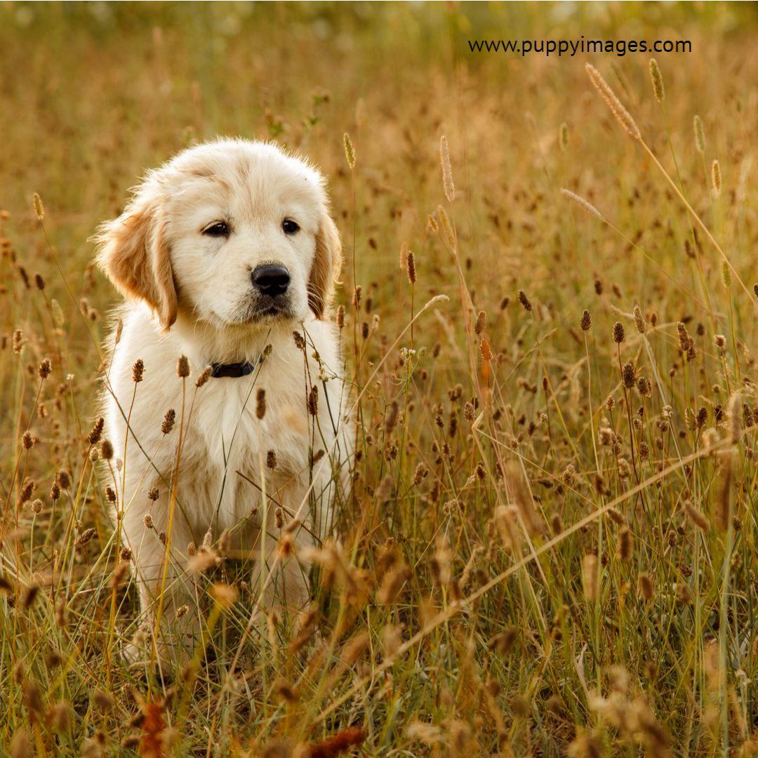 Golden Retriever Puppy In A Field Friendly Dog Breeds Toy Dog
