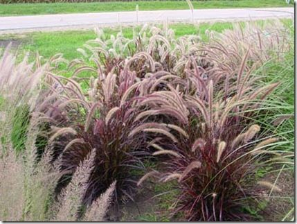 Purple Fountain Grass Red Riding Hood Fountain Grass Red