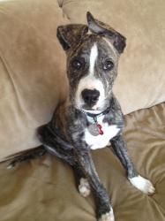 Adopt Mork On Great Dane Dogs Great Dane Mix Boxer Love