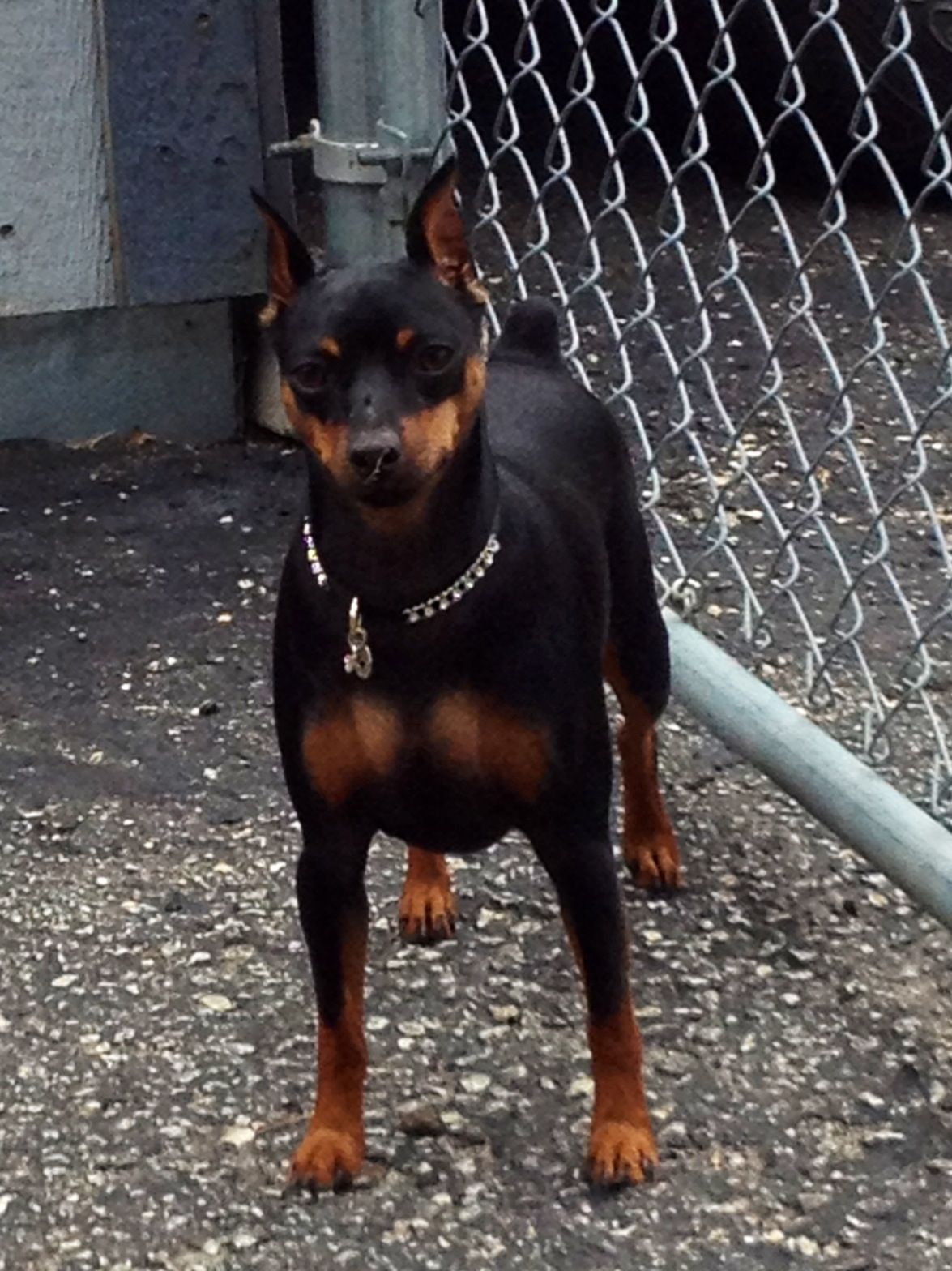 I Love The Baddass Look They Have Best Small Dogs Dog Lovers Miniature Pinscher
