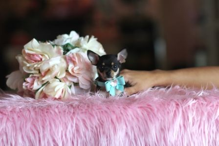 Teacup Chihuahuas For Sale Chihuahua Puppies For Sale