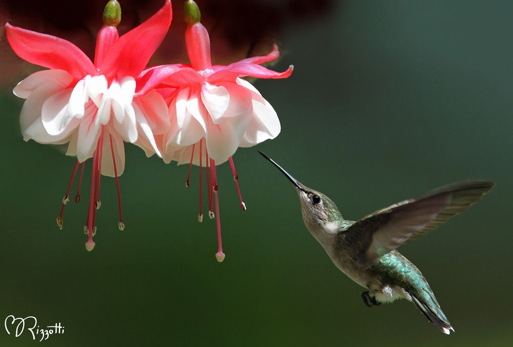 The Ultimate Dining Guide For Hummingbirds Blog Growjoy Hummingbird Hummingbird Plants Plants To Attract Hummingbirds