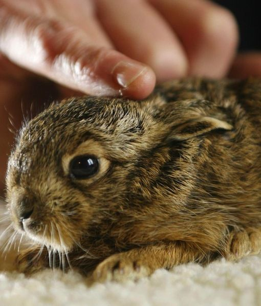 A tiny baby hare is lucky to be alive after being born via an emergency roadside Caesarean section. A couple came across the body of a dead hare on the side of the road and noticed that its stomach was moving. The man used his penknife  to carry out emergency surgery and after making an incision, a tiny baby popped out. What a miracle!