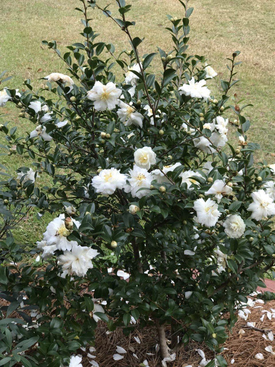 Camellia Sasanqua White Doves Mine No Yuki Snow On The
