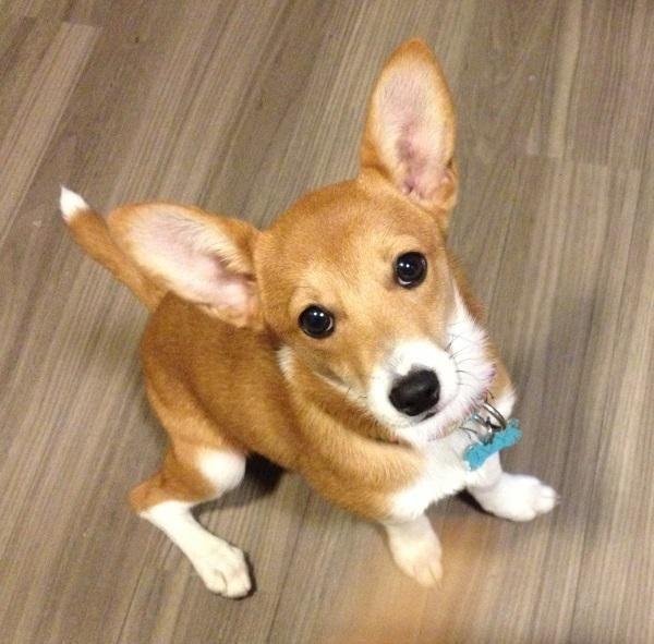 Adopt Fern And Ivy On Corgi Beagle Mix Love Your Pet Beagle Mix
