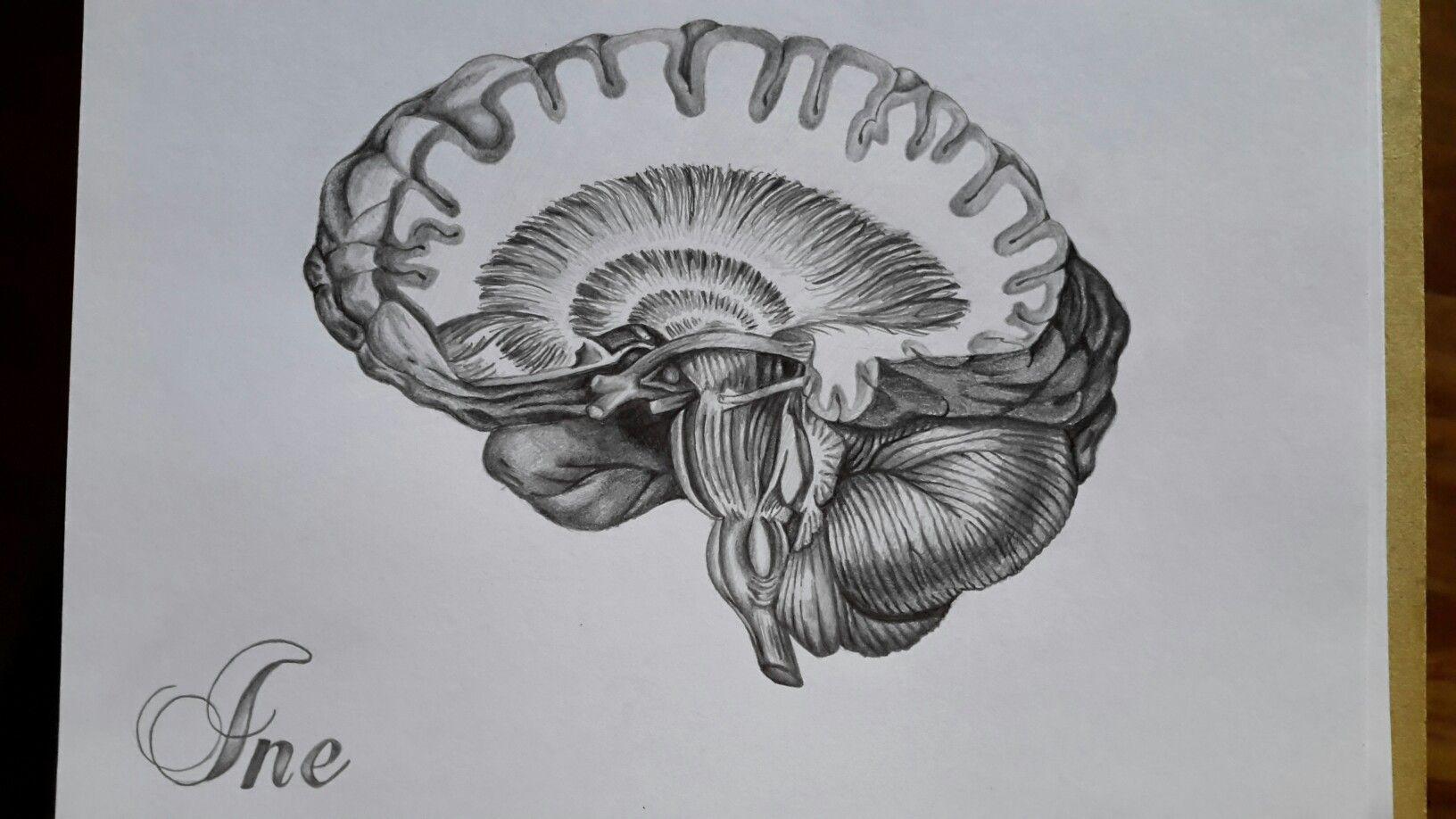 The brain - anatomy- By Sophia Elizabeth Dover. Image copied from ...
