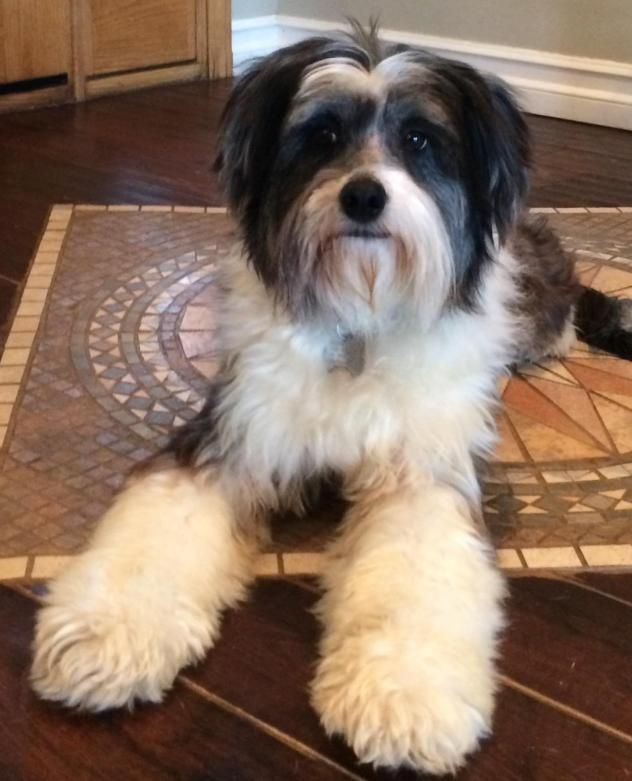 Adopt Ashlee On Unique Dog Breeds Rare Dog Breeds Tibetan Terrier