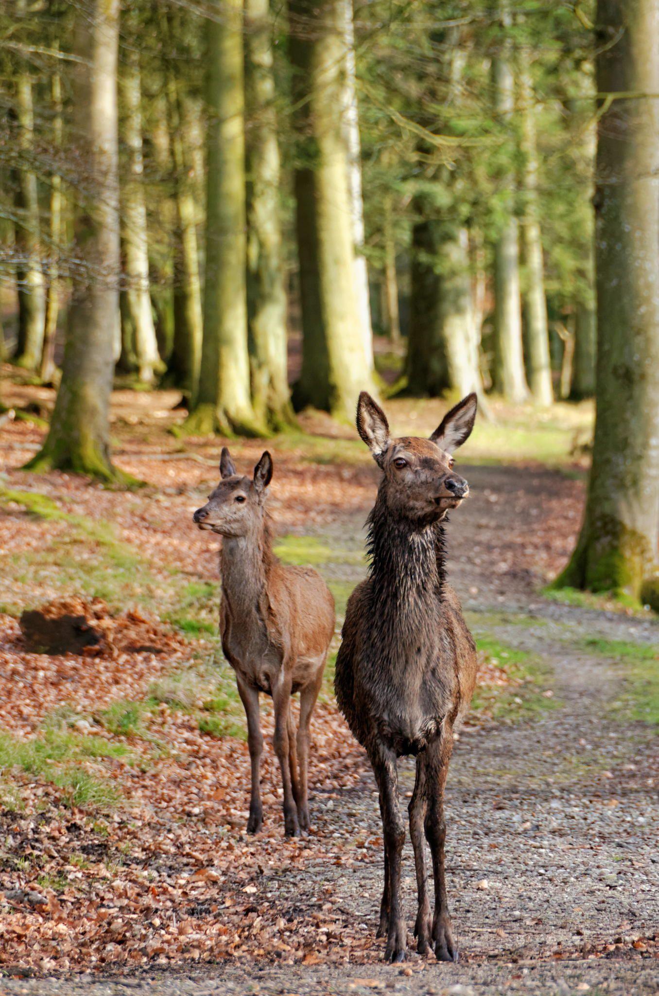 Deer by Jørgen Jensen / 500px (Denmark)