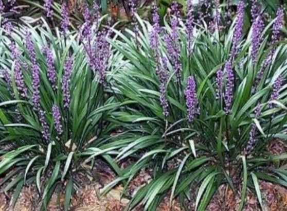 100 Liriope Muscari Not Chopped Off Aka Monkey Grass Big Blue Lily