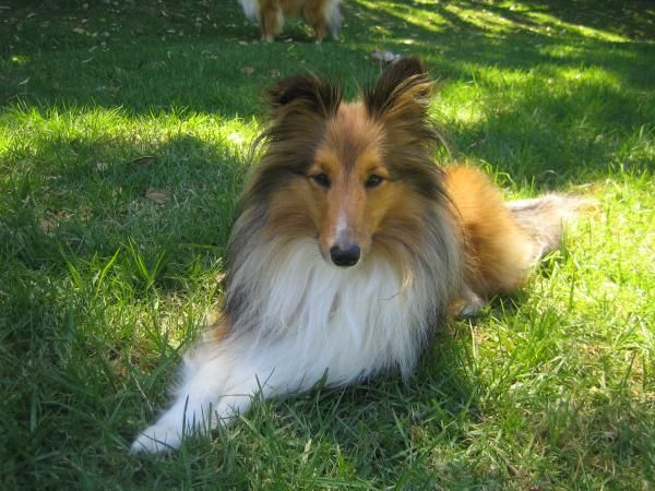 Small Dog In The Garden By Sheltie Planet Shetland Sheepdog