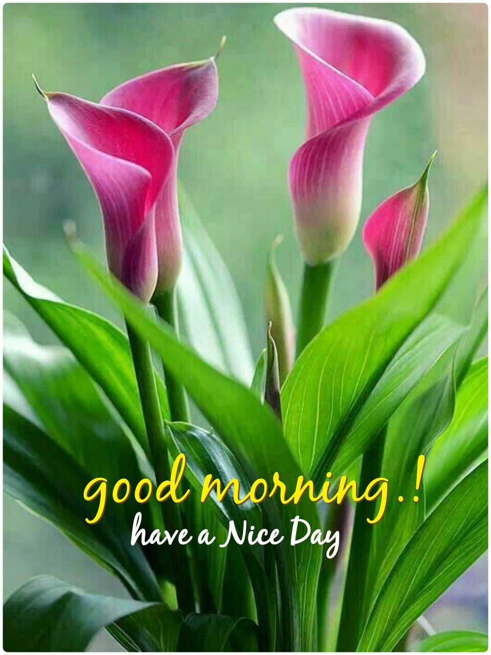 Pin by anoop patel on good morning pinterest discover ideas about green flowers facts on calla lily izmirmasajfo