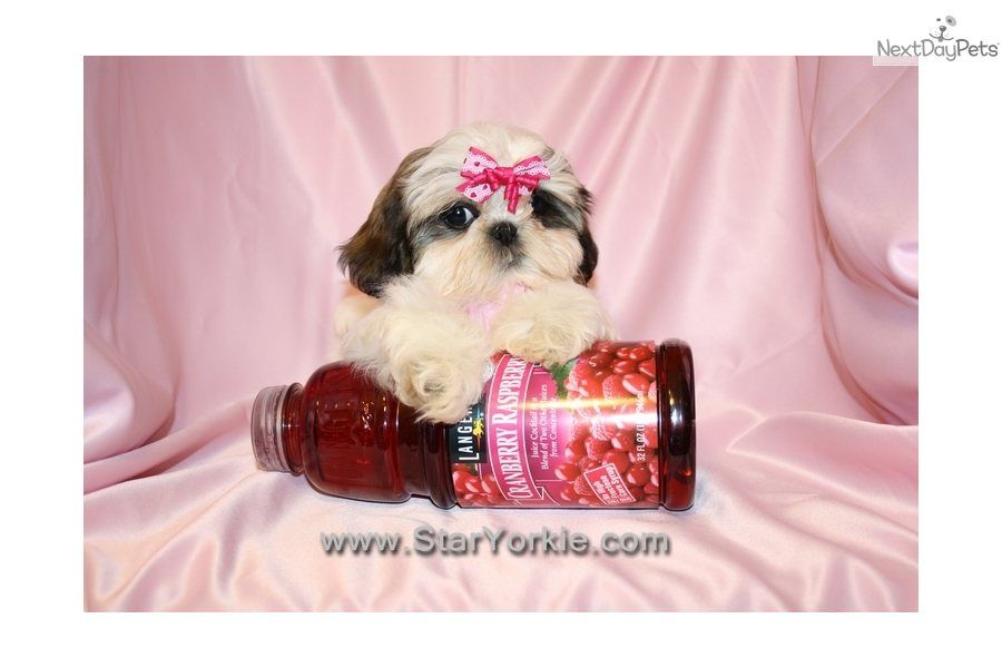 Micro Tiny Teacup Shih Tzu Shih Tzu Puppy For Sale For 1 200