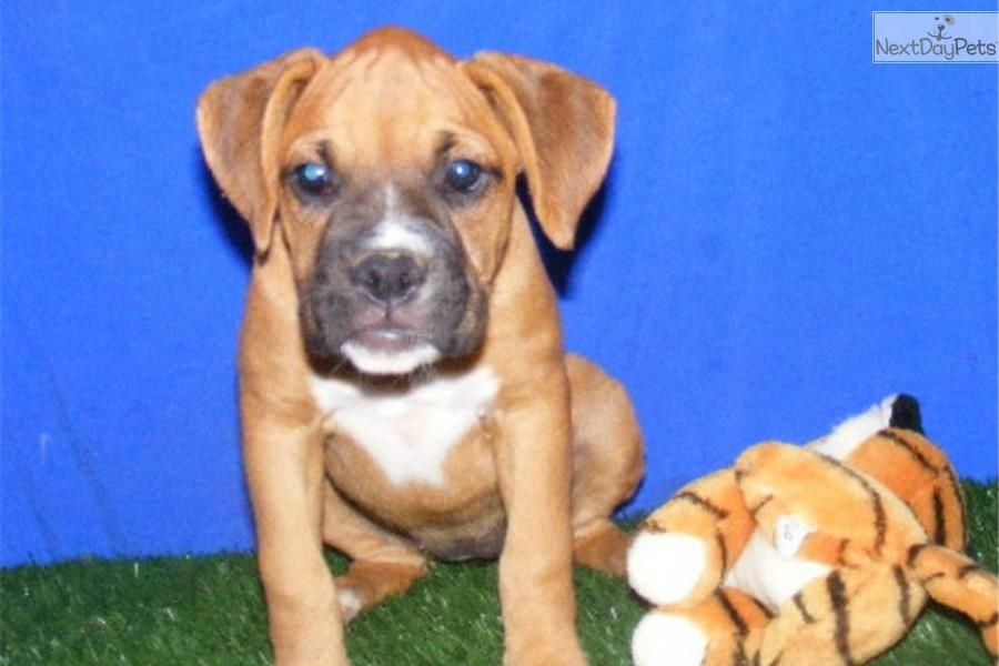Bailey Boxer Female Cute Boxer Puppies Boxer Puppies For Sale Boxer Puppy