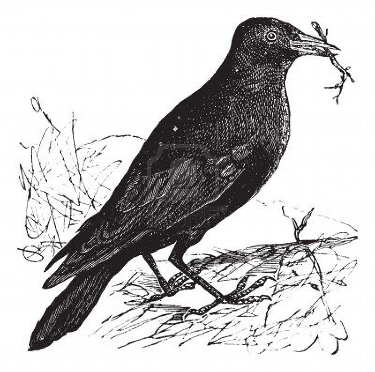 Kauw of Corvus monedula, vintage graveren. Oude gegraveerde afbeelding van een Kauw. Stockfoto
