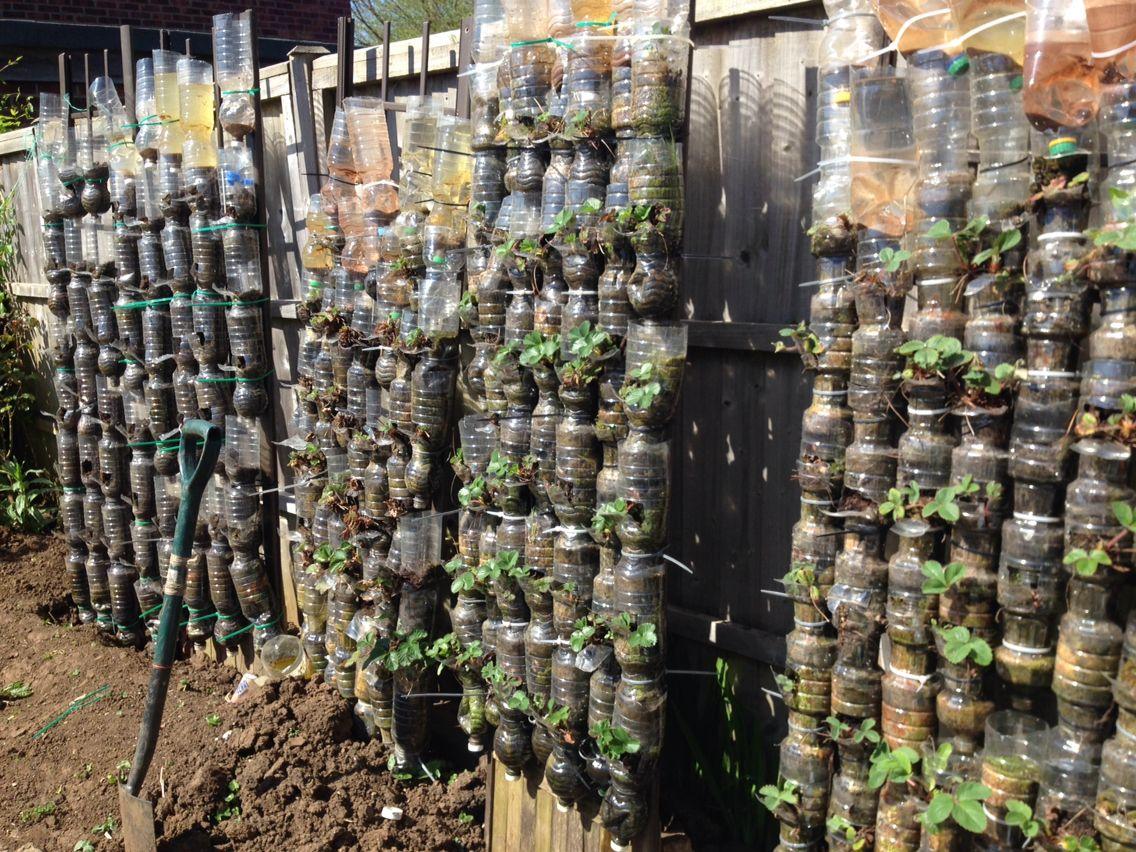 Growing Strawberries In Plastic Bottles Vertically Early