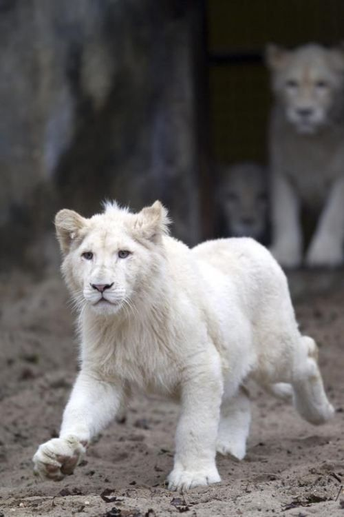 white lion share moments