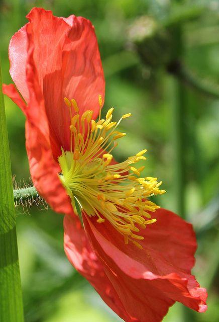 Profile of a Poppy. by MoMontyMisty on Flickr.