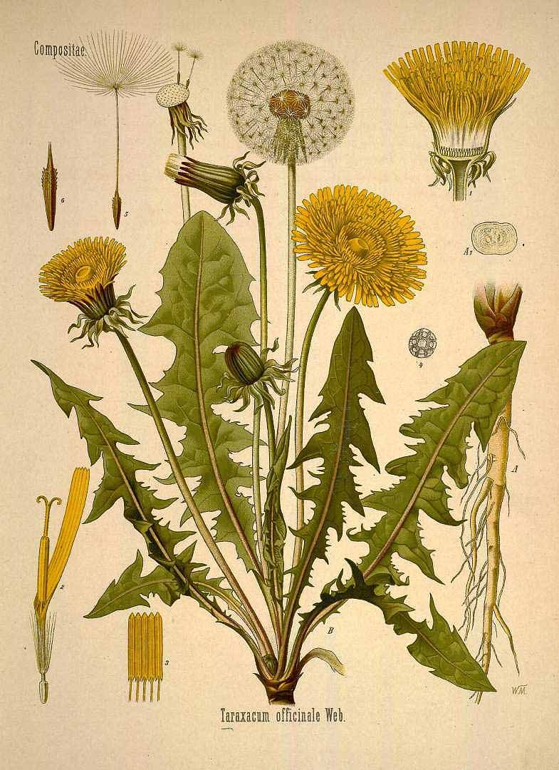 Taraxacum Officinale Webb Dandelion Kohler F E Medizinal Pflanzen Vol 1 T 5 1887 Botanical Drawings Botanical Illustration Vintage Plant Illustration