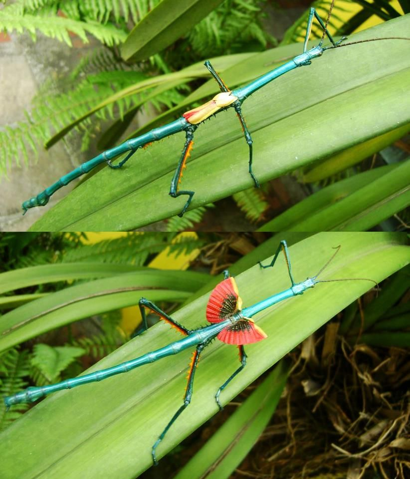 Achrioptera Fallax Beautiful Bugs Cool Insects Bugs And Insects