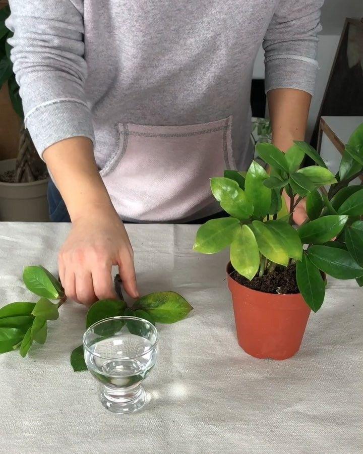 Zz Plant In Water