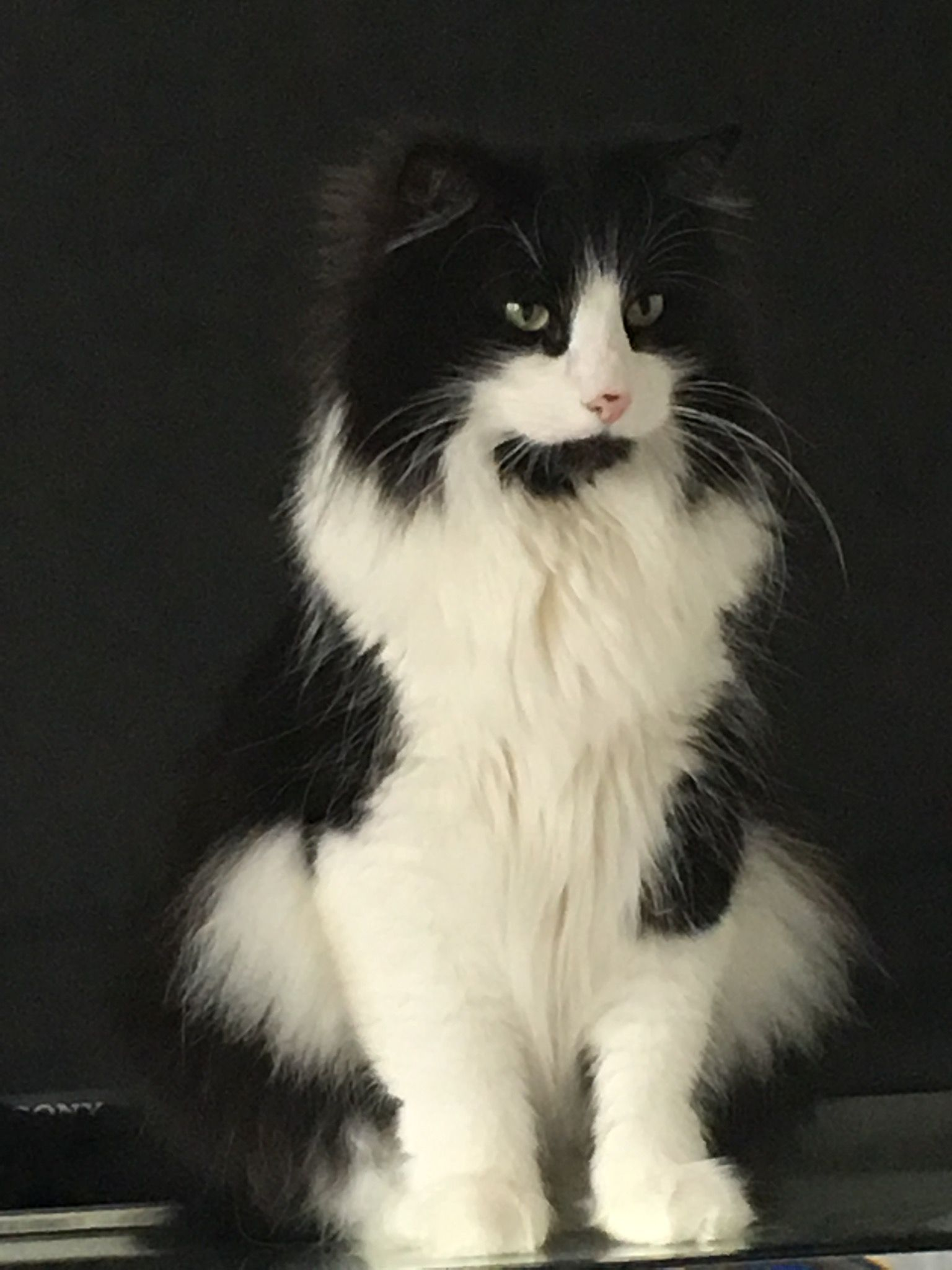 Pin By Patti Parker On Norwegian Forest Cats Norwegian Forest Cat Forest Cat Beautiful Cats