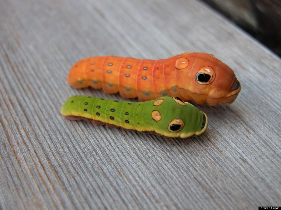 Spicebush Swallowtail Larvae May Be The Coolest Bugs Ever