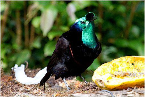 El ave del paraíso en peligro de extinción | La Reserva