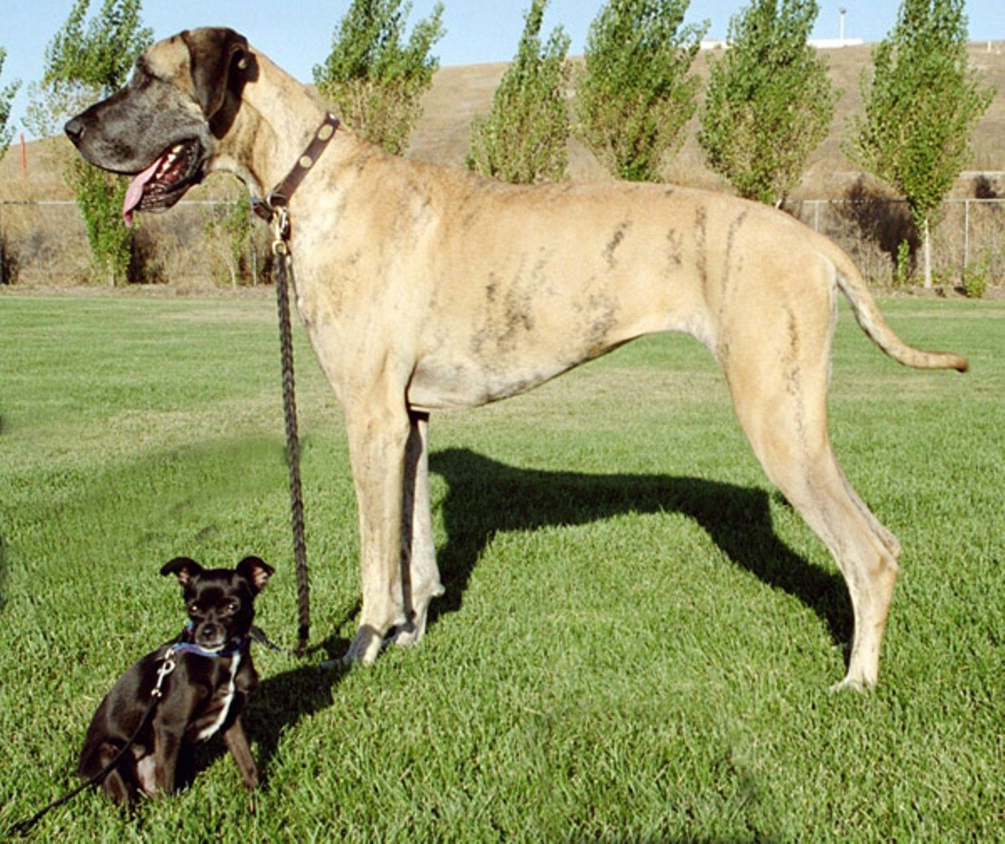 25 Great Dane Pictures Gallery Inspiration Dog Breeds Large Dog Breeds Great Dane Dogs