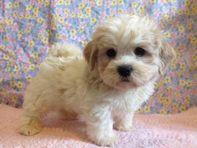 Bichon Shih Tzu Mix Teddy Bear Tzuchon Shih Tzu Teddy Bear