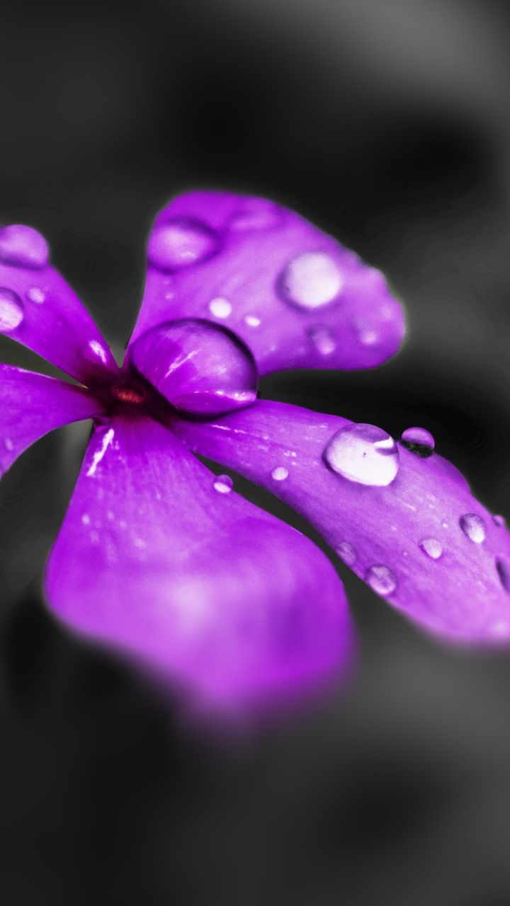 water drops, catharanthus roseus, purple flower, blur, close up