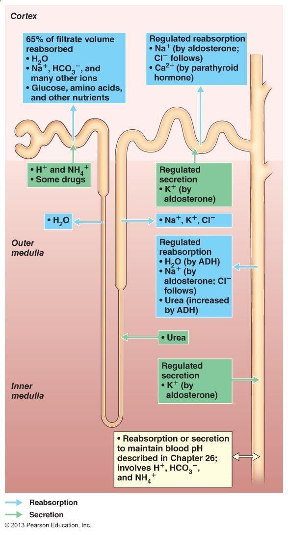 Nephron physiologyhttp://classes.midlandstech.edu/carterp/Courses ...